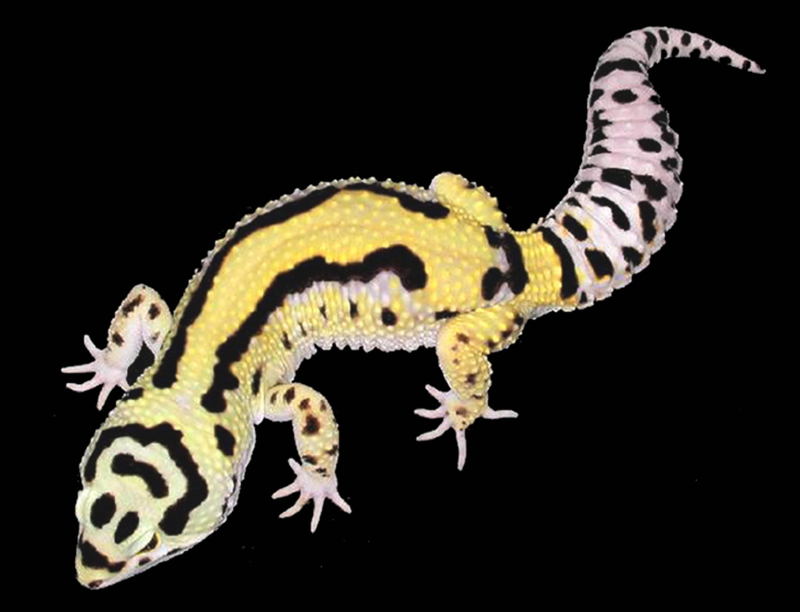 geckos for sale online  baby gecko for sale near me pet