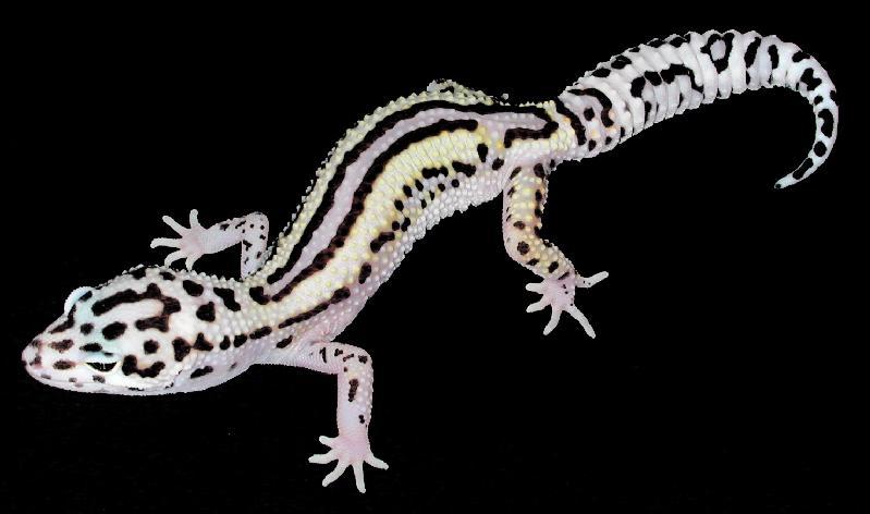 Perfect Leopard Gecko Morphs